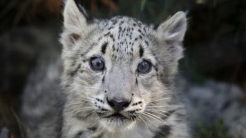 Climate Change Threatens Snow Leopards Even More Than Humans