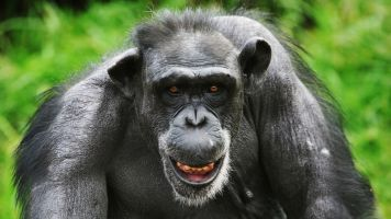 US Government Promises To Retire All Research Chimpanzees