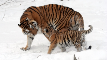 Saving Trees Could Also Save The World's Last Tigers