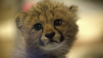 Canine Companions Can Help Baby Big Cats Thrive In Captivity