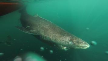 This Giant Shark Can Live For 400 Years
