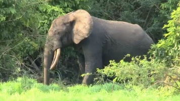 This Species Of Elephants Will Need 90 Years To Recover From Poaching