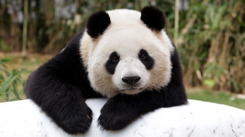 The Panda Population Is Perking Up, But It Still Has A Long Way To Go