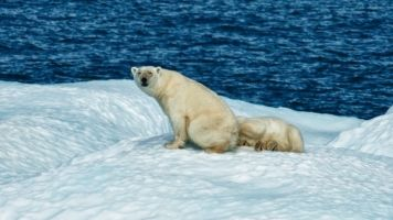 Climate Change Is Melting Away Polar Bears' Chance Of Survival