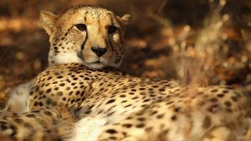 Cheetahs Are Dangerously Close To Becoming Extinct
