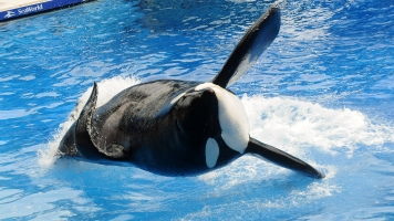 The Famous SeaWorld Killer Whale Tilikum Has Died