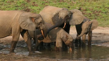 Protected Land Isn't Keeping African Forest Elephants Safe