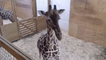 Meet April The Giraffe: The Internet's Latest Weird Obsession