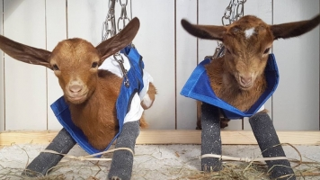 Meet The Goats Of Anarchy: A Rescue Farm For Baby Goats