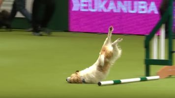 Terrier's Terrible Dog Show Performance Will Keep You Smiling