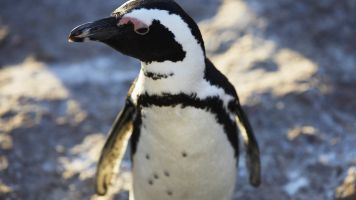 Climate Change And Overfishing Lead African Penguins Into Deadly Traps