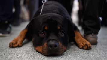 Big Breeds Top The American Kennel Club's Most Popular Dogs List