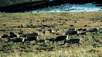 Congress Voted To Abolish A Rule Protecting Some Alaskan Wildlife