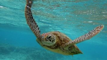 Turtles On The Great Barrier Reef Have Human Medication In Their Blood