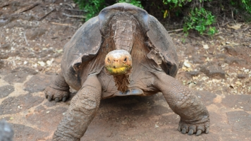 A Galápagos Tortoise Species Thought To Be Extinct Has Resurfaced