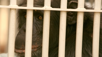 Only 72 Of Nearly 600 Lab Chimpanzees Have Been Moved To Sanctuaries
