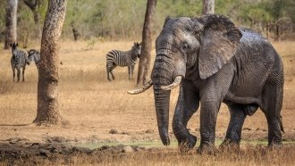 As Habitats Shrink, There Is Such A Thing As Too Many Elephants