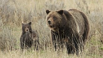 The US Interior Secretary Is Being Sued Over Yellowstone Grizzly Bears