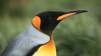 King Penguins Might Need To Move Or Face Starvation