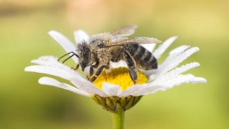 Are Honeybees Endangered? Scientists Can't Give A Definitive Answer
