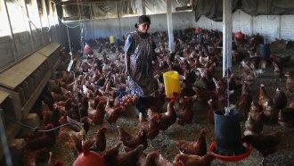 A Guatemalan farmer collects eggs