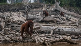 Borneo orangutans on Indonesia's Salat Island as forest fires affect the area.