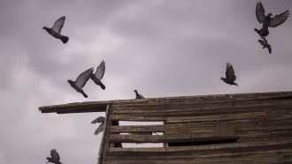 Pigeons take flight from a decaying house