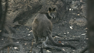 Australia Airdrops Tons Of Food To Starving Wildlife