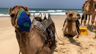 Australia Kills Camels In Search Of Water