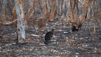 A wallaby in a scorched forest
