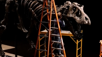 "Workers prepare ""Stan"" the T. Rex for auction"