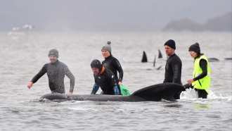 Rescue crew members stand with a whale on a sand bar