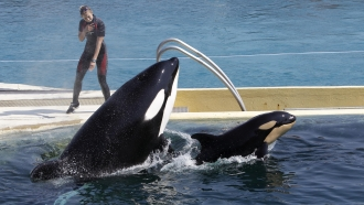 Killer whales at Marineland aquatic park in Antibes, southeastern France
