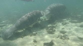 Manatees swim together.