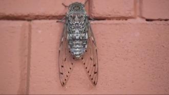 Cicada sits on a wall.