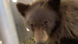 A bear cub that was being treated at the Frisco Creek Rehabilitation Facility