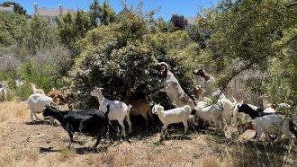 Goat eat shrubs and brush to create a fire break in Hayward, California.
