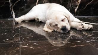 An 8-week old Labrador retriever, takes a nap.
