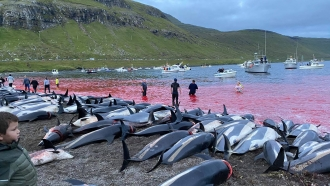 In this image released by Sea Shepherd Conservation Society the carcasses of dead white-sided dolphins lay on a beach.