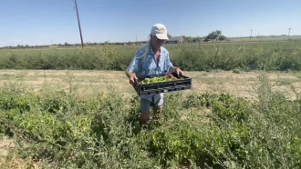 Man gathers peppers in field