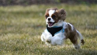A 2-year-old Cavalier King Charles Spaniel runs while playing with its owners