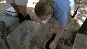 A veterinarian prepares to give the COVID vaccine to some skunks.