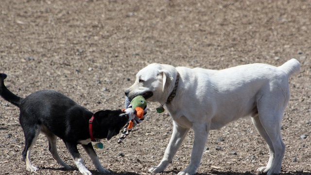 Can I Get COVID-19 From My Dog Playing With Another Dog?