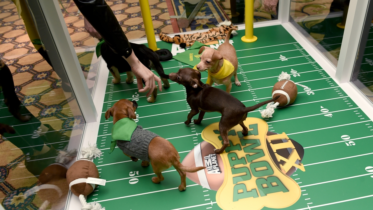 Puppies in a pen painted like a football field.