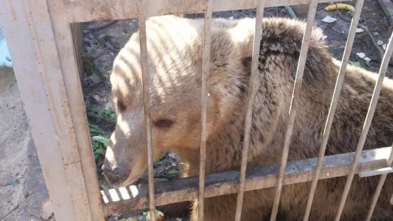 A bear in a zoo in Mosul, Iraq