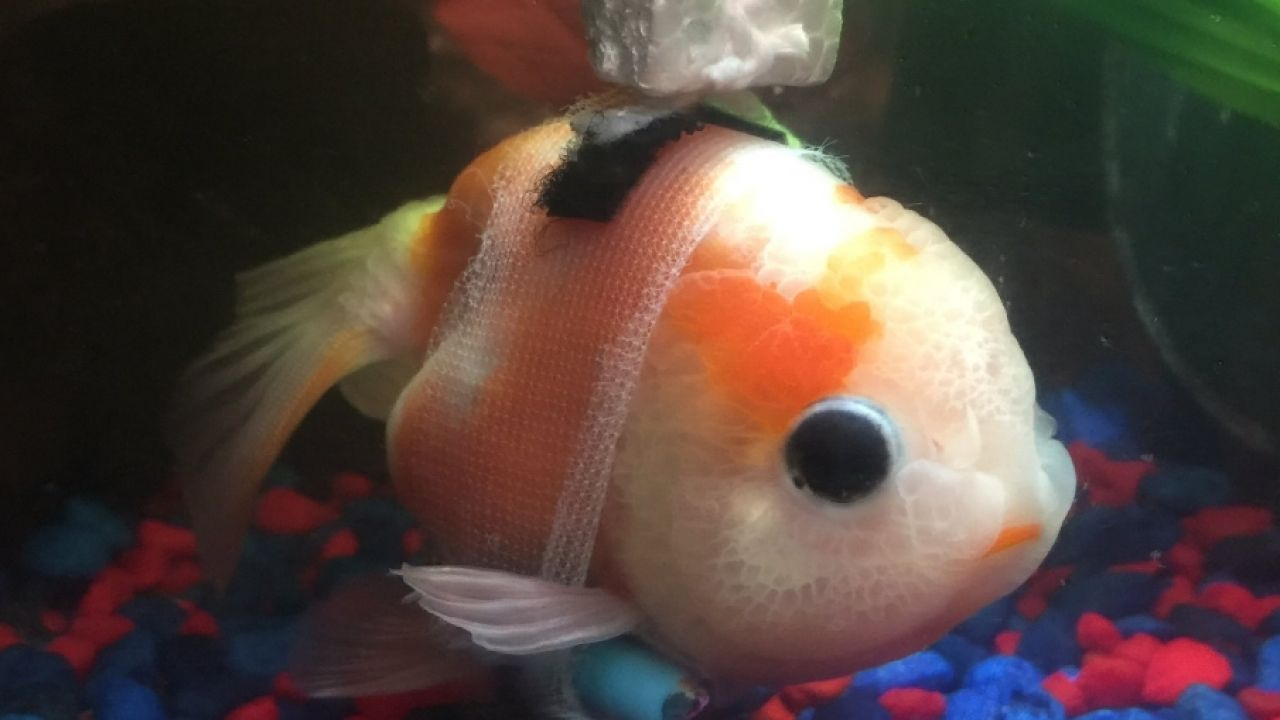 Goldfish with disorder in its tiny makeshift wheelchair