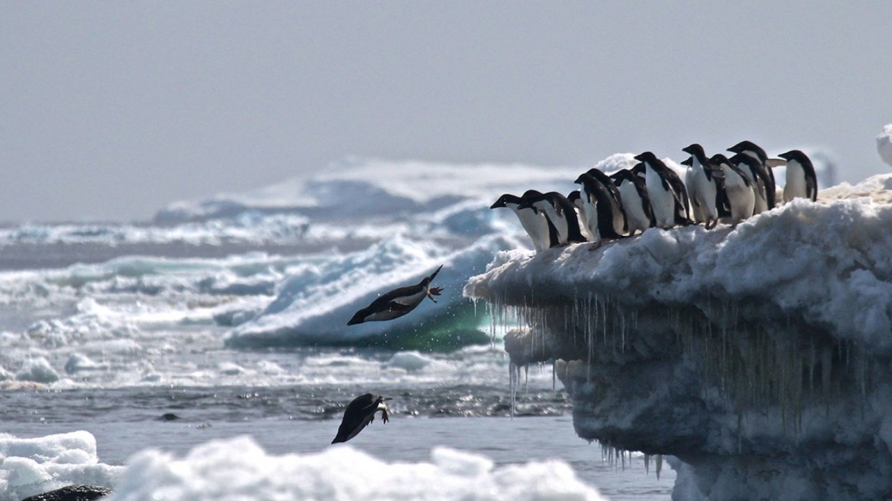 Penguins jump into the water from a block of ice