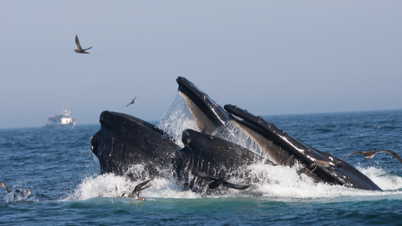 Humpback whales in the Stellwagen Bank National Marine Sanctuary