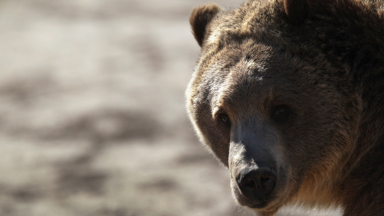 New Endangered Species Act Rules Could Threaten Grizzlies, Monarchs