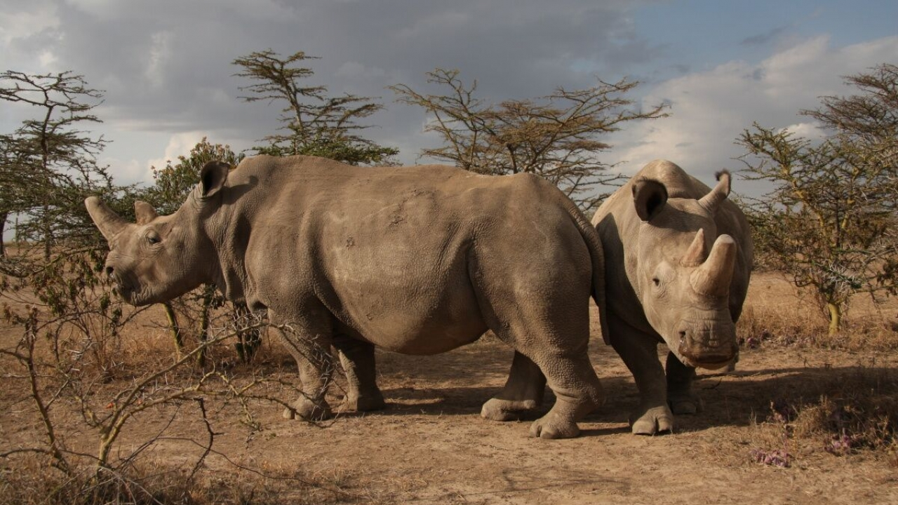 Scientists Have Created 2 Northern White Rhino Embryos